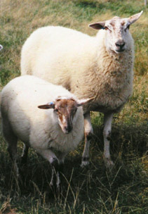 Mergellandschaap - Dutch Sheep Breed